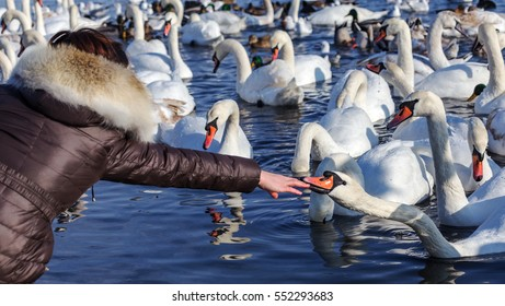 White swans and wild ducks swimming in clean sea water in winter near shore and struggling with seagulls beg for food from townspeople. Birds wintering in frost. People are saving birds in winter