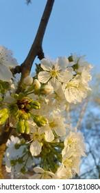 White sweet cherry flowers on cherry tree.