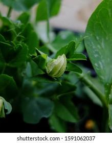 White sweet pea flower bud