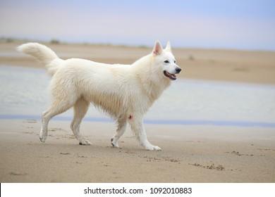 white swish shepherd at the beach