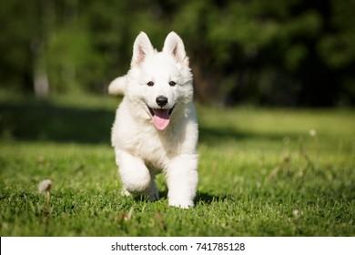White swiss shepherd cute little puppy walking outdoor on the grass