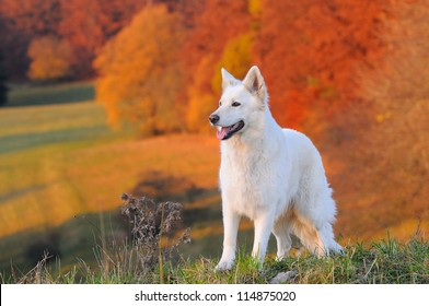 White Swiss Shepherd Dog in autumn