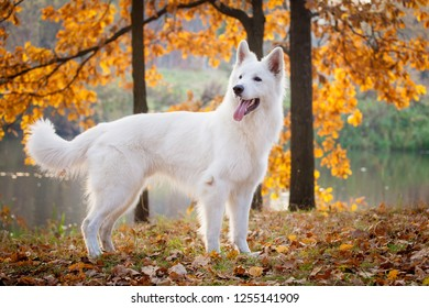 White swiss shepherd dog in autumn park