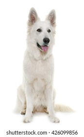 White Swiss Shepherd Dog in front of white background