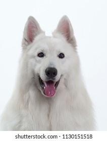 White Swiss Shepherd dog head-shot portrait smiling, isolated on white background.