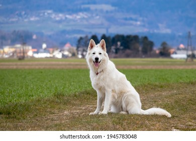 White Swiss Shepherd Dog on a field outside. Adult berger blanc breed.