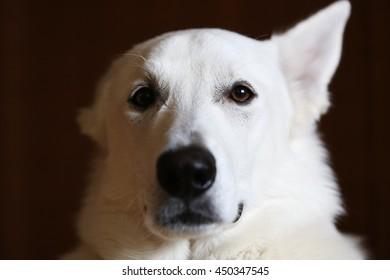 White Swiss shepherd dog portrait