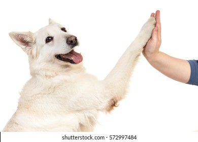 White swiss shepherd dog portrait facing the camera isolated on a white background giving a high five