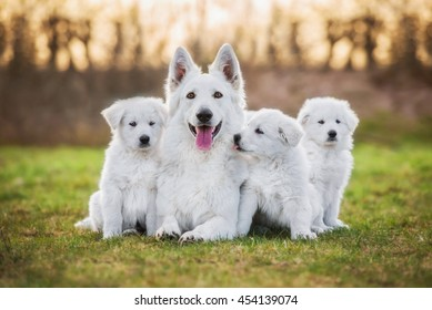 White swiss shepherd dog with its puppies