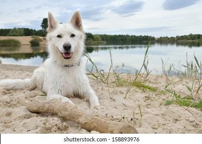 White Swiss Shepherd Dog relaxing at the lake