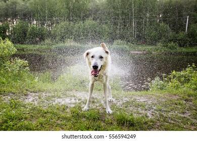 White Swiss shepherd dog is shaking off the water
