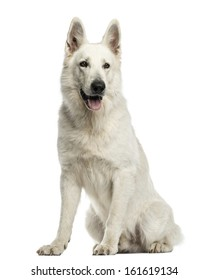 White Swiss Shepherd Dog sitting, panting, isolated on white