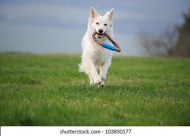 White Swiss Shepherd fetch toy