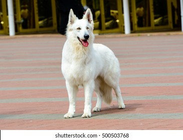 The White Swiss Shepherd in full face is in the park