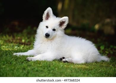 White Swiss Shepherd puppy 10 weeks old portrait