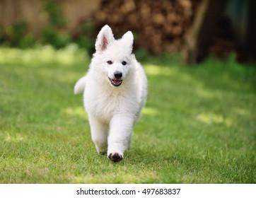 White Swiss Shepherd puppy 10 weeks happy running