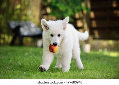 White Swiss Shepherd puppy ten weeks old fetch apple