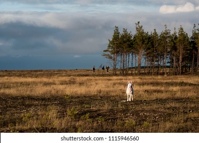 A white swiss shepherd standing on a field with its tongue out and some hikers walking in the forest in the background