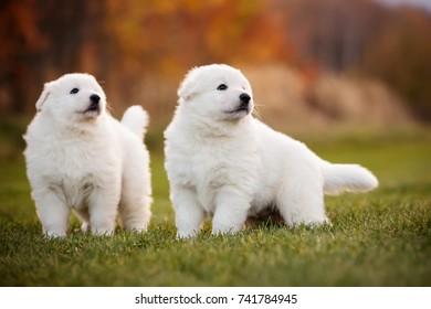White swiss shepherd two cute little puppy standing together outdoor on the grass