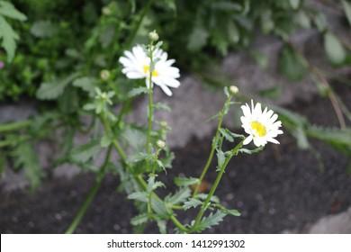 White swizz flower (nature) with green stem