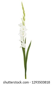 White sword lily flowers isolated on white