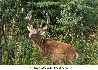 White tail buck in Cypress Hills Interprovincial Park in early August