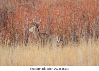 White Tail Buck deer in the fall season during the rut