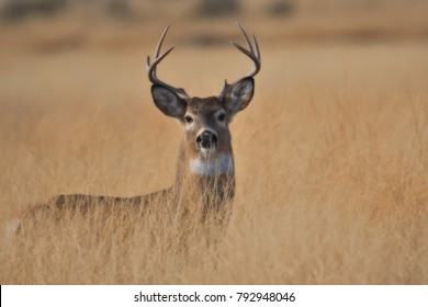 White tail Buck in the rut standing in tall grass.