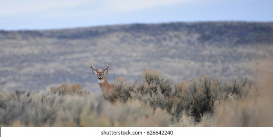 White tail buck in the sage brush