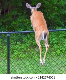 White tail deer in back yard jumps fence