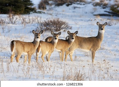 White Tail Deer, in early evening light, in the Cypress Hills, Alberta, Canada.  Mother and three babies.