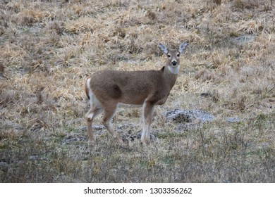 White tail deer in field