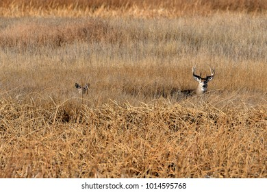White tail deer in a grass field watching for danager