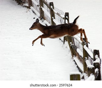 White tail deer jumping a fence