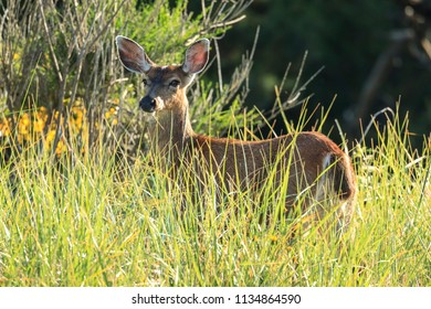 A white tail deer, odocoileus virginianus, stands in the tall grass in northwest, Oregon.