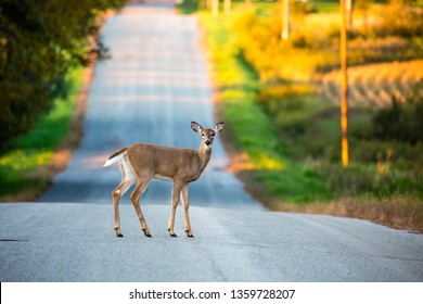 White tail deer (odocoileus virginianus) young female standing in the middle of a Wisconsin road in September