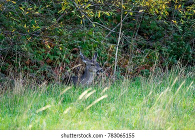 White Tail Deer in San Pedro Valley Park