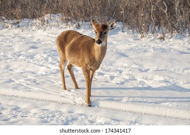 A white tail deer searching for food in the snow
