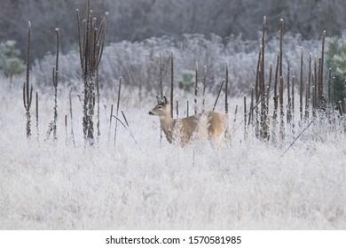 White tail in field winter season