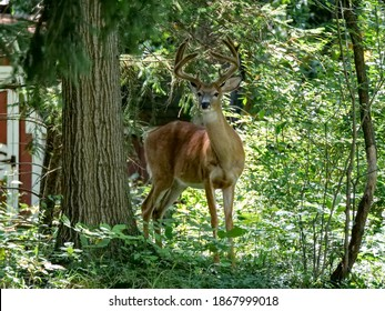 White tailed buck in a rural backyard