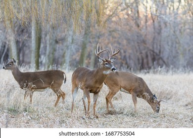 A white tailed buck and two does graze in a meadow at sunset.