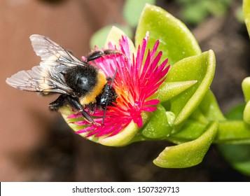White tailed bumblebee, White Tailed bumblebee, Bumblebee, Bombus lucorum