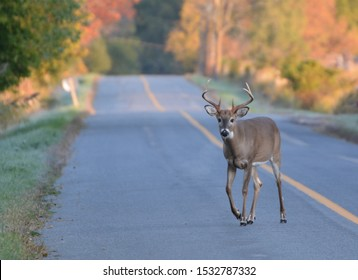 White tailed deer back on country road