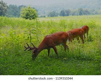 White Tailed Deer Bucks In Meadow