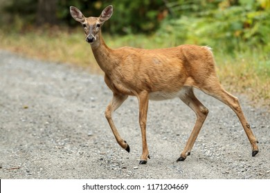 A white tailed deer crosses a gravel road near Hauser, Idaho.