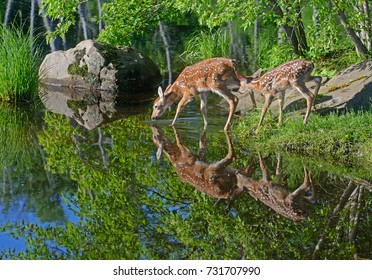 White Tailed Deer Fawns show reflections in water.