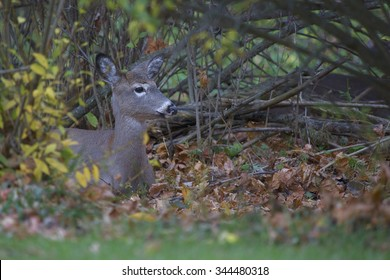 White tailed deer hiding in the bushes of a suburban neighborhood in mid-Autumn.