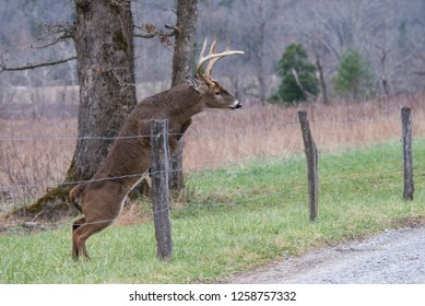 White Tailed Deer jumping a fence in Cades Cove, part of The Great Smoky Mountains.