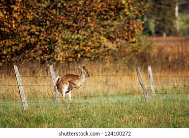 A white tailed deer misjudging a leap over a fence and crashing into it. Uninjured, it decided to walk around the fence after that