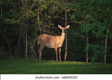 White Tailed Deer Outdoors
